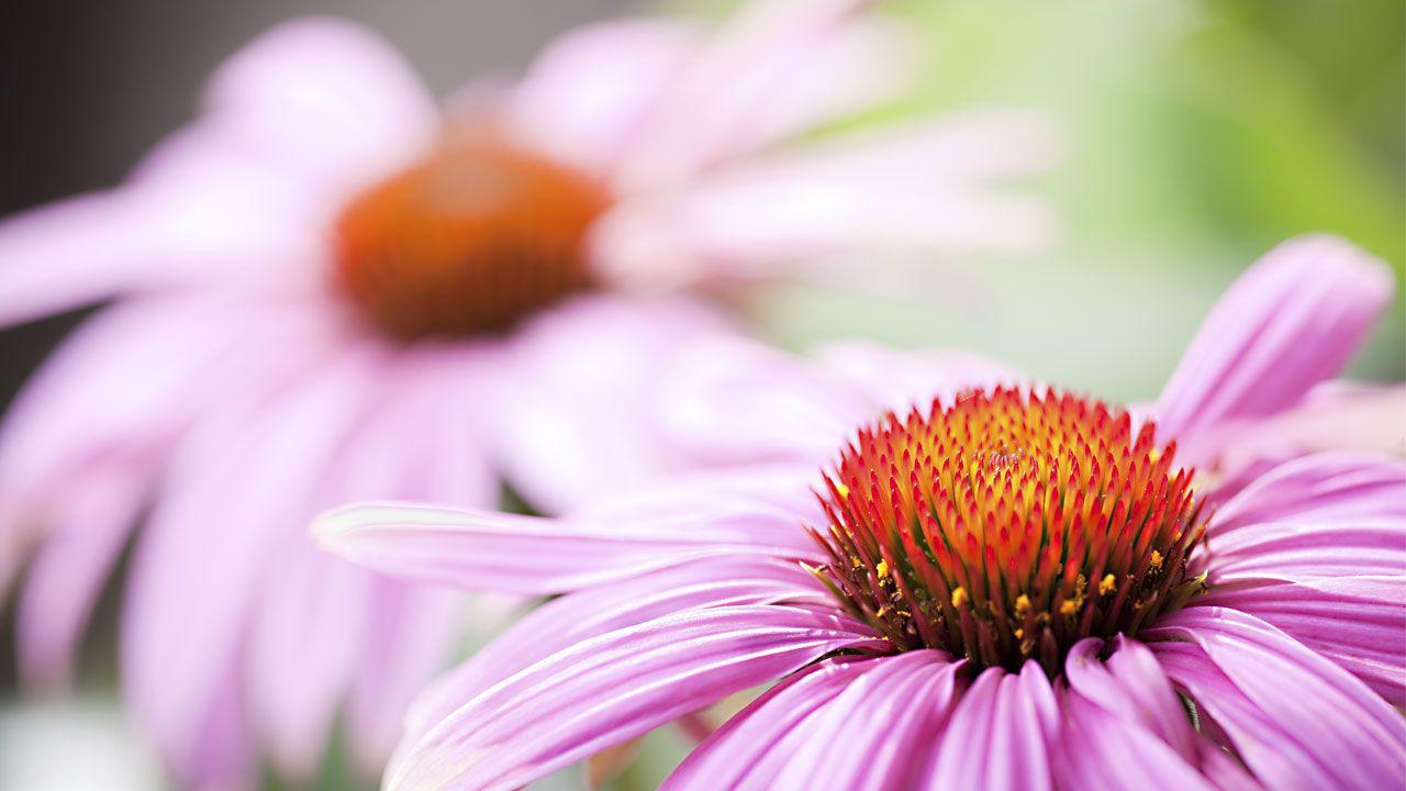 Pflanzenheilkunde Blüten
