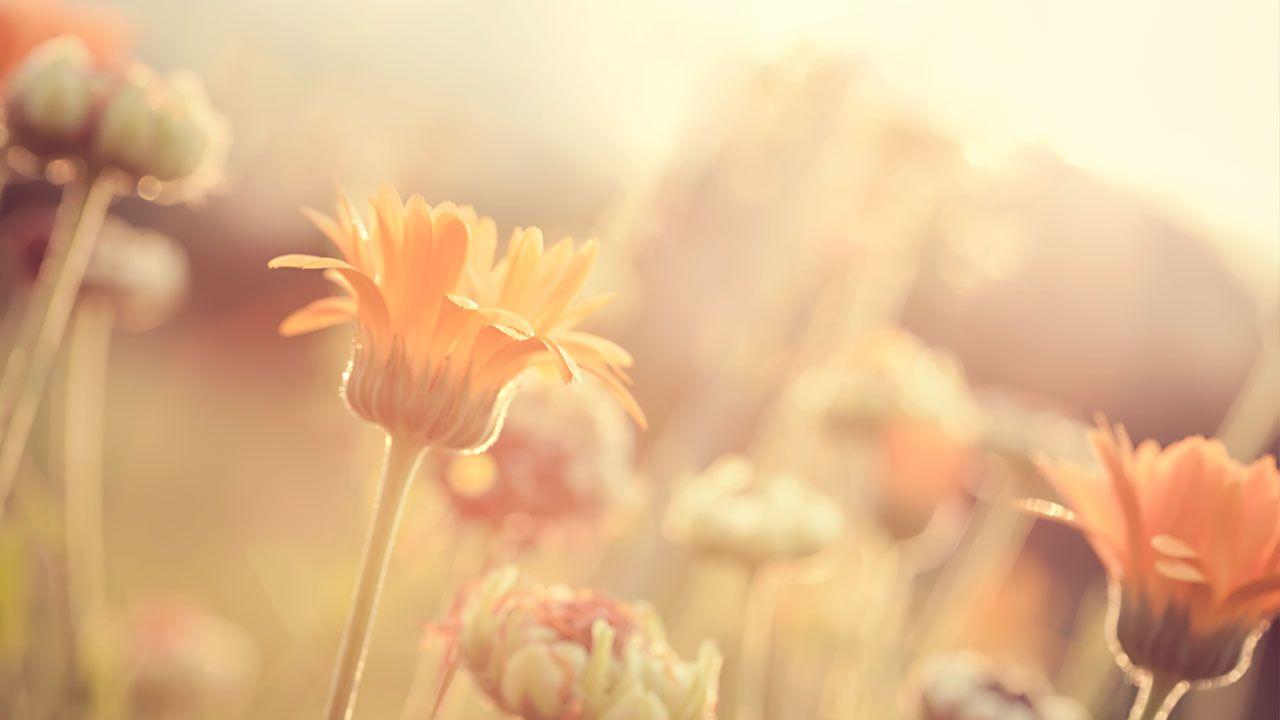 Pflanzenheilkunde Blumenfeld